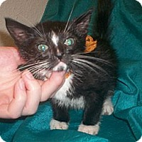 Adopt A Pet :: Skunk - Austin, TX
