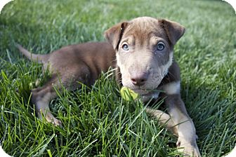 Shar Pei Mix Puppy for adoption in Chesterfield, Michigan - Tank 2014 (m/c)