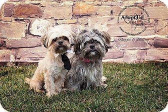 Shih Tzu/Lhasa Apso Mix Dog for adoption in Linden, New Jersey - Babette & Nugget