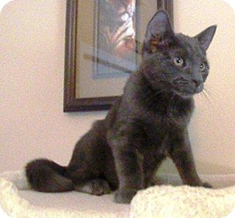 Russian Blue Kitten for adoption in Turnersville, New Jersey - Willie