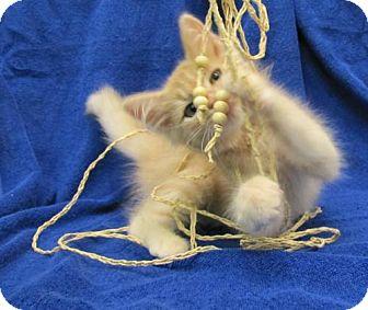 Domestic Longhair Kitten for adoption in Port St. Joe, Florida - Jack