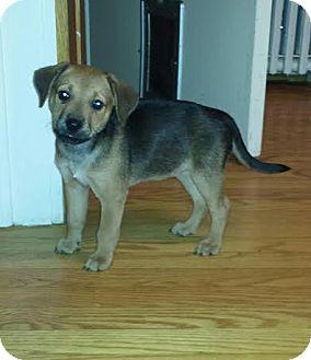 Labrador Retriever Mix Puppy for adoption in Hainesville, Illinois - Brownie Sundae