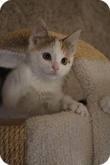 Domestic Shorthair Kitten for adoption in Toronto, Ontario - Karinna