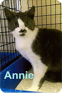 Domestic Shorthair Cat for adoption in Medway, Massachusetts - Annie