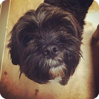 Shih Tzu Mix Dog for adoption in Plymouth Meeting, Pennsylvania - Choppa