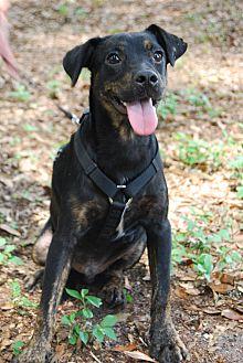 Terrier (Unknown Type, Medium) Mix Dog for adoption in Crawfordville, Florida - Tommie
