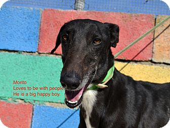 Greyhound Dog for adoption in Indianapolis, Indiana - Morito