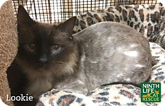 Himalayan Cat for adoption in Oakville, Ontario - Lookie