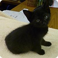 Domestic Shorthair Kitten for adoption in Livingston, Texas - Jamie