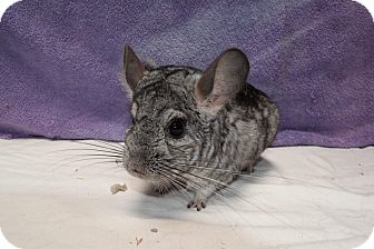 Chinchilla for adoption in Montclair, California - Ziggy