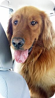 Golden Retriever Mix Dog for adoption in BIRMINGHAM, Alabama - Tucker
