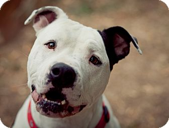 American Bulldog Mix Dog for adoption in Lincoln, California - Hamlet-ADOPTION FEE SPONSORED!
