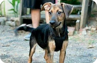 Shepherd (Unknown Type)/Hound (Unknown Type) Mix Puppy for adoption in Pompton Lakes, New Jersey - Shepherd Hound Black and Tan