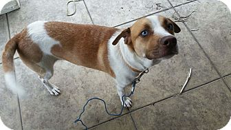 Beagle/Australian Shepherd Mix Dog for adoption in Schertz, Texas - Daisy LS