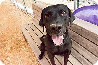 Labrador Retriever Mix Dog for adoption in Meridian, Idaho - Ike