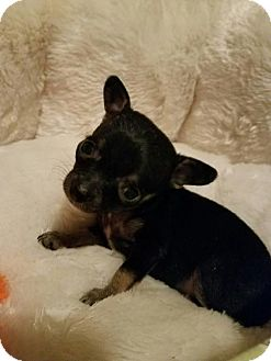Chihuahua Mix Puppy for adoption in Yreka, California - Odetta