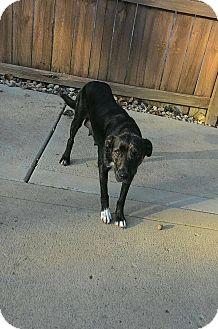 Labrador Retriever/Dutch Shepherd Mix Dog for adoption in Mooresville, Indiana - Kate