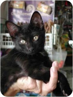 Domestic Shorthair Kitten for adoption in Fort Lauderdale, Florida - Zo