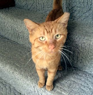 Domestic Shorthair Cat for adoption in Lombard, Illinois - Youssef