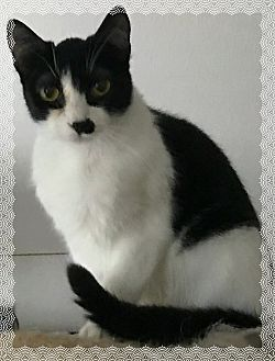 Domestic Shorthair Cat for adoption in Stanwood, Washington - Cagney