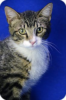 Domestic Shorthair Cat for adoption in LAFAYETTE, Louisiana - DAVE