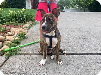 Boston Terrier/American Pit Bull Terrier Mix Puppy for adoption in Rochester, New York - Penny Lane