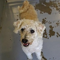Adopt A Pet :: Bailey - Bichon / Poodle - Rootstown, OH
