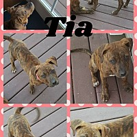 Adopt A Pet :: Tia - WESTMINSTER, MD