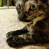Adopt A Pet :: moxie - Centreville, VA