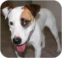 American Bulldog/Jack Russell Terrier Mix Dog for adoption in Concord, California - Bella