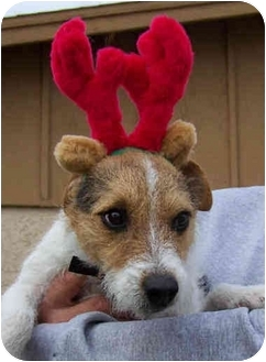 Jack Russell Terrier Dog for adoption in Phoenix, Arizona - RUDY