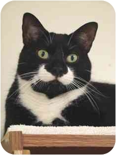 Domestic Shorthair Cat for adoption in Norwalk, Connecticut - Oliver