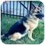 Photo 2 - German Shepherd Dog Dog for adoption in Baldwin, New York - Roxy