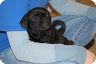 Pug/Shih Tzu Mix Puppy for adoption in Minneola, Florida - Amy