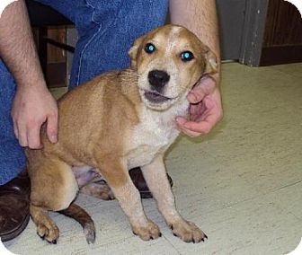 Cattle Dog Mix Puppy for adoption in Mt. Vernon, Illinois - Ian