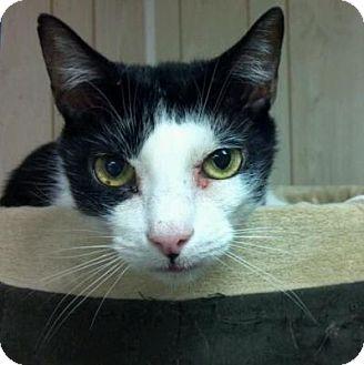 Domestic Shorthair Cat for adoption in Pineville, North Carolina - Picollo