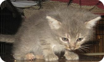 Maine Coon Kitten for adoption in Dallas, Texas - Petunia