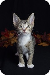 Domestic Shorthair Kitten for adoption in Wayne, New Jersey - Chowder