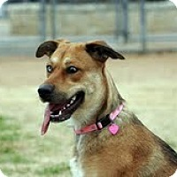 Adopt A Pet :: Harlee - justin, TX