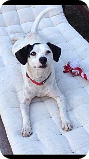 Jack Russell Terrier Mix Dog for adoption in El Segundo, California - Schrader