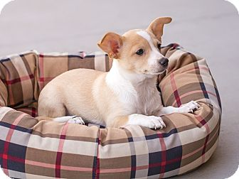 Chihuahua Mix Puppy for adoption in Chandler, Arizona - Cupcake