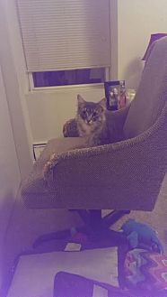 Domestic Mediumhair Cat for adoption in New York, New York - Jane