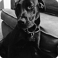 Adopt A Pet :: Lewis - Seattle, WA