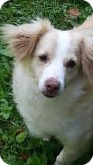 Cocker Spaniel/Feist Mix Dog for adoption in Sylva, North Carolina - Toby