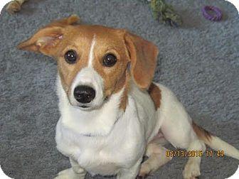 Dachshund/Beagle Mix Dog for adoption in Laingsburg, Michigan - Peaches
