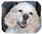 Cocker Spaniel Dog for adoption in San Diego, California - Lucy