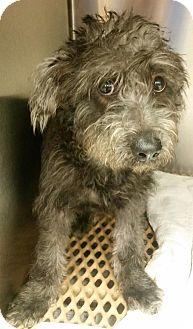 Schnauzer (Standard)/Terrier (Unknown Type, Small) Mix Dog for adoption in Newtown, Connecticut - Chauncey