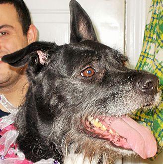 Labrador Retriever/Schnauzer (Giant) Mix Dog for adoption in Plain City, Ohio - Bonnie