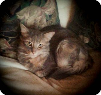 Domestic Mediumhair Cat for adoption in Hamilton., Ontario - CeeJay