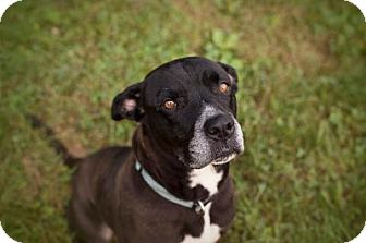 Great Dane Mix Dog for adoption in Indianapolis, Indiana - Daphne